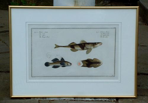 Antique Colored Fish Engraving