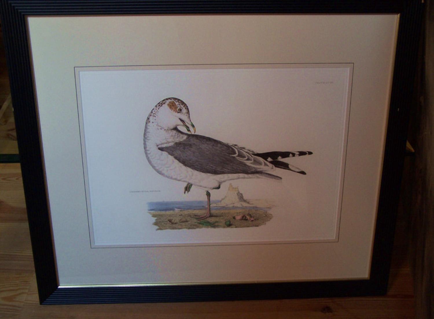 Prideaux John Selby engraving Common Gull in Winter Plumage