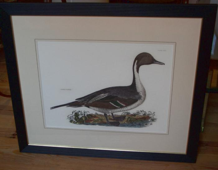 Common Pintail copper plate duck etching by Robert Mitford