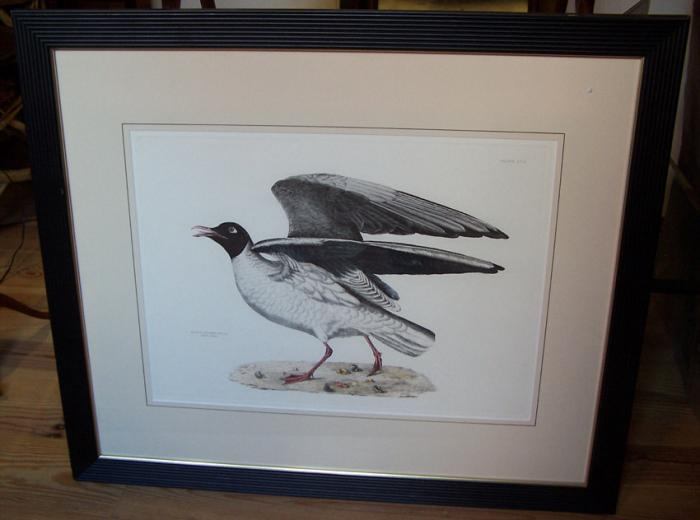 Black Headed Gull Summer Plumage etching by P J Selby