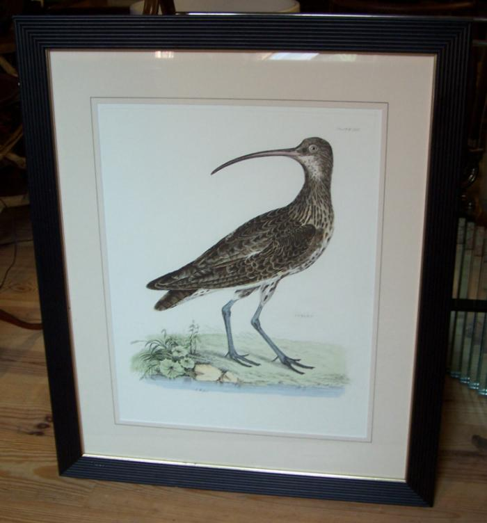Long Billed Curlew shore bird etching by R Mitford plate XIII